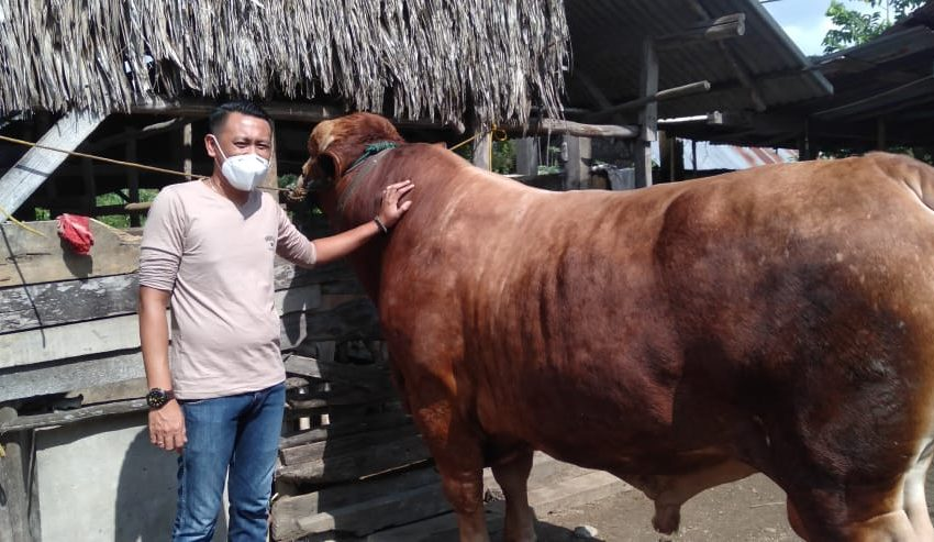 "Presiden Jokowi beli Sapi Limosin untuk ""Wong Kito"""