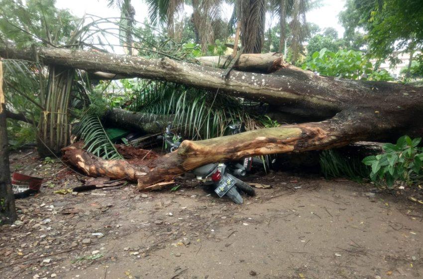 Tiga Motor Rusak Parah Tertimpa Pohon Tumbang